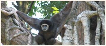 The white-handed gibbon monkey